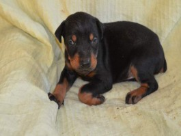 air-journal-chiot-dobermann