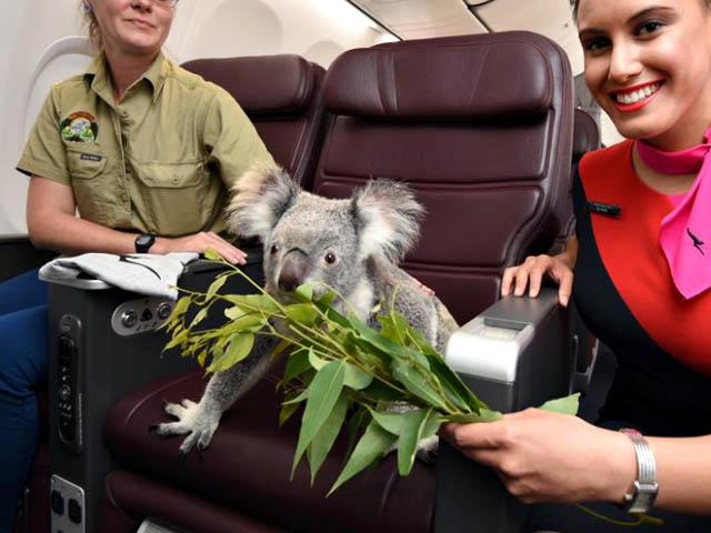 air-journal_Qantas koala 1