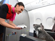 air-journal_Qantas koala 2
